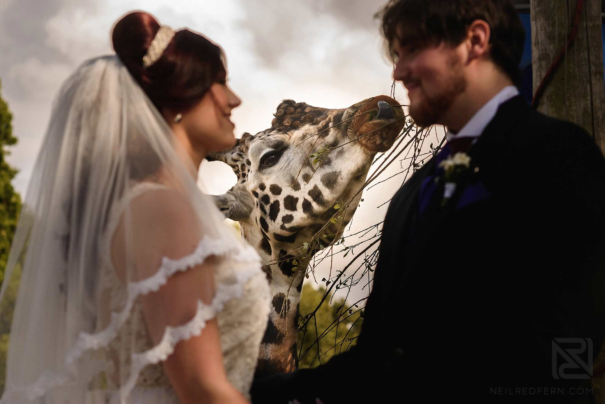 bride and groom with giraffe at Knowsley Safari Park
